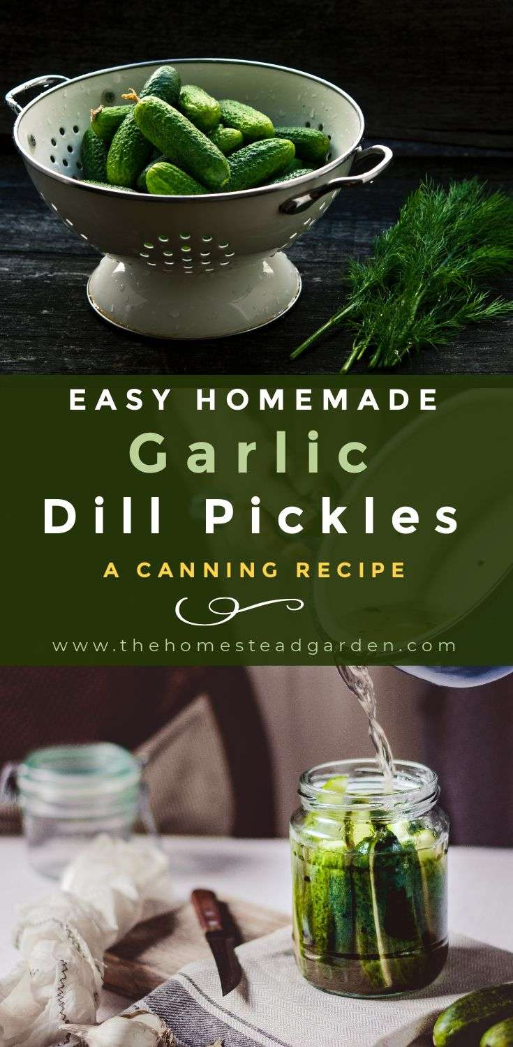 Easy Homemade Garlic Dill Pickles (A Canning Recipe)